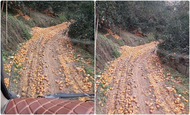 Xót xa hình ảnh cam Hà Giang rụng kín mặt đường, trải thảm cho xe đi