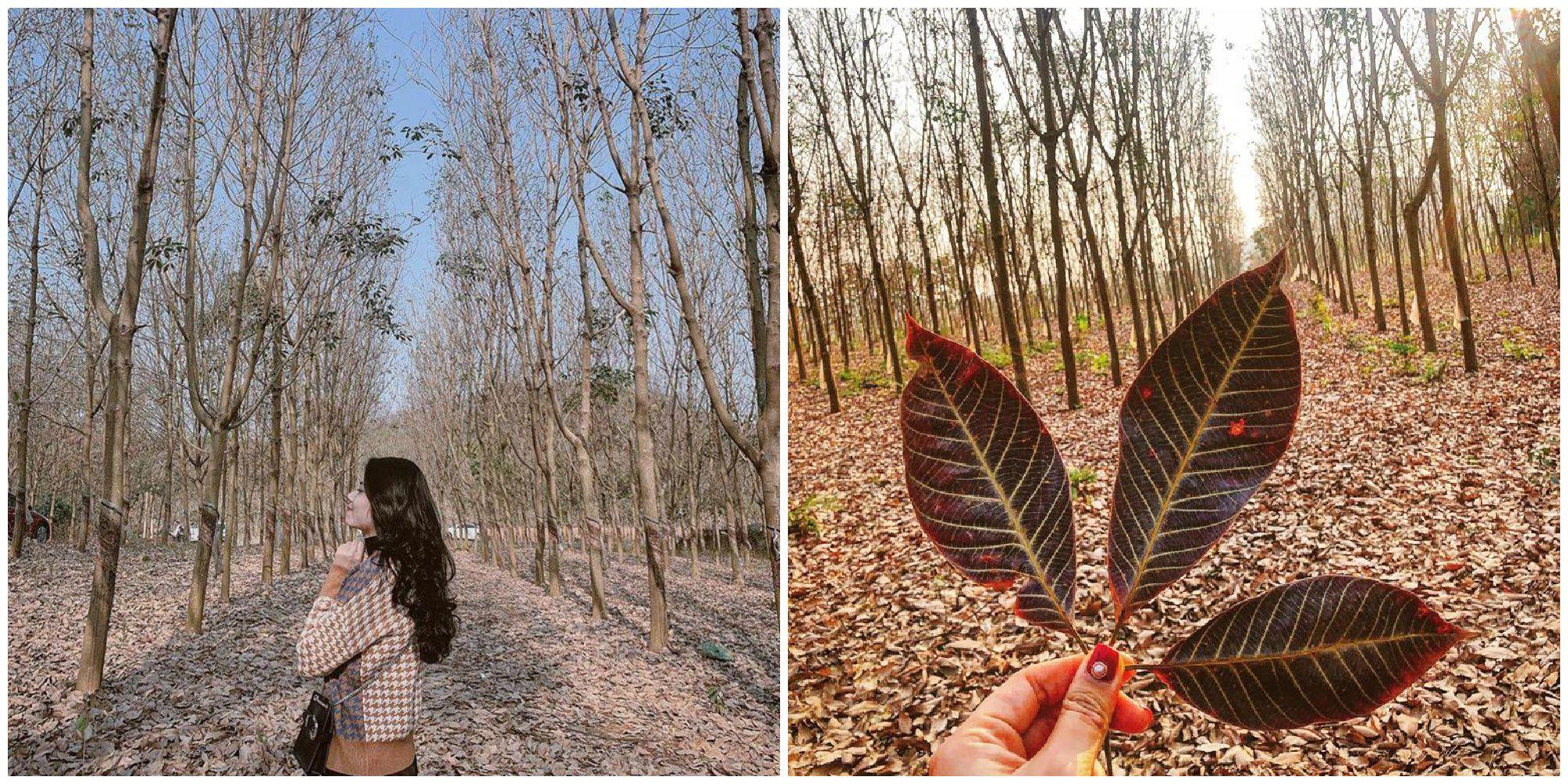 Đứng ngồi không yên trước rừng cao su mùa thay lá đẹp tựa phim Hàn Quốc ở Sơn La