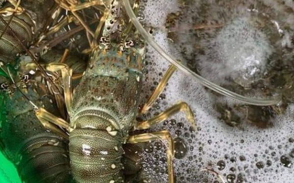 """Giá hải sản mùa """"giải cứu"""" tiếp tục giảm sốc: Tôm hùm đại dương giá chỉ 200.000 đồng/kg"""
