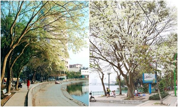 Hà Nội những ngày đầu tháng 3 mang khoảng trời trắng hoa sưa đẹp tới nao lòng