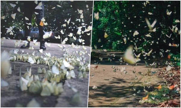 """Có hẹn với mùa bướm bay rợp trời ở rừng Cúc Phương khi """"hết dịch"""""""