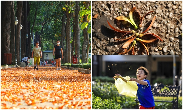 """Rủ nhau đi ngắm hoa chò vàng đang vào mùa rụng đẹp """"xao xuyến"""" cả Sài Gòn"""