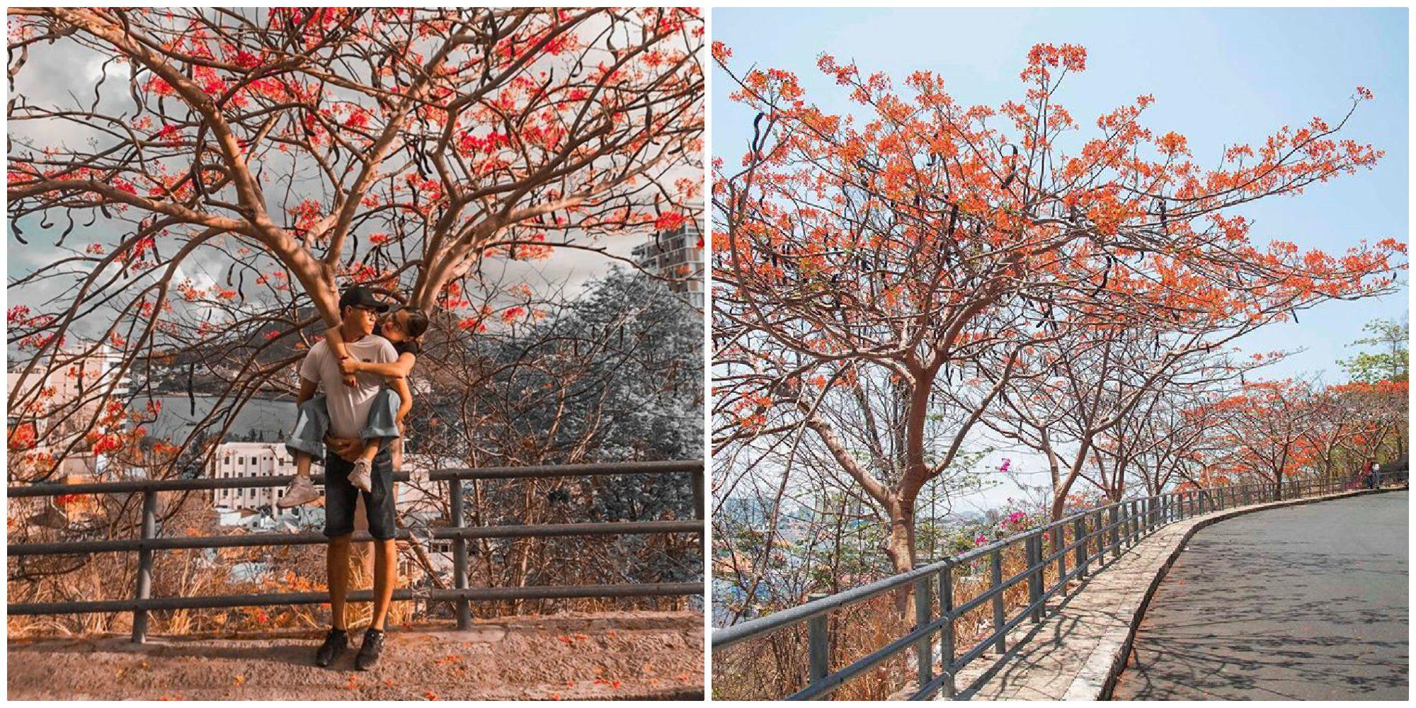 Đẹp quên lối về con đường phượng vĩ đỏ rực ở thành phố biển Vũng Tàu