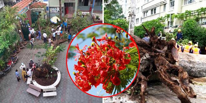Không chỉ phượng vĩ dễ gãy, đổ, nhiều cây xanh già cỗi nơi công cộng không đảm bảo an toàn