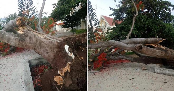Sau cây phượng đè học sinh ở Sài Gòn, thêm một cây phượng bất ngờ bật gốc trong sân trường