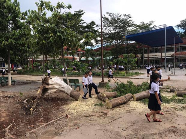 Liên tục các vụ cây phượng bật gốc, ngã đổ trong sân trường, mới nhất là tại Bình Dương