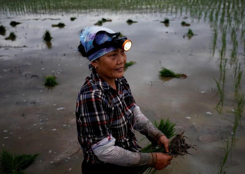Nông dân Việt Nam đi cấy vào ban đêm tránh nắng nóng lên báo nước ngoài