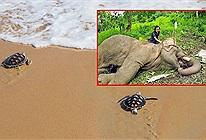 Koh Samui không có khách du lịch, rùa con nở nhiều và thoải mái bơi ra biển nhưng đại dịch không tốt cho muôn loài
