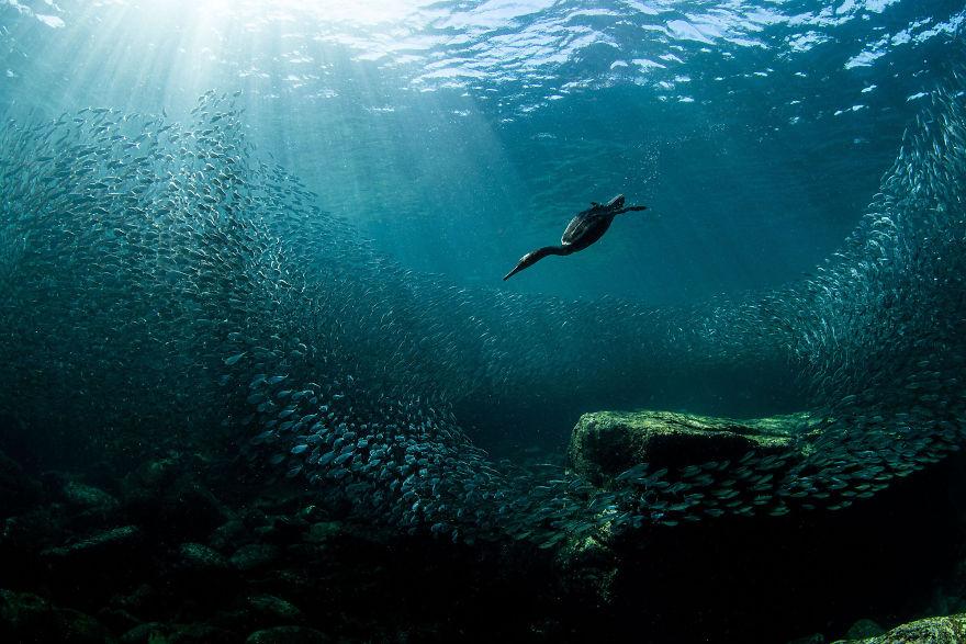 Top 10 bức ảnh đẹp nhất về các loài chim tại Bắc Mỹ: Bức ảnh về con chim cốc đang lặn xuống vịnh La Paz đạt giải thưởng lớn nhất