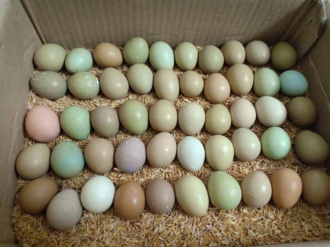 Loại trứng xanh đỏ khác lạ đắt gấp 15 lần, bà nội trợ lùng mua