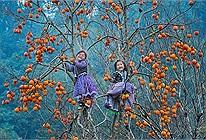 Hết dịch, mình lên xứ cao nguyên Mộc Châu ngắm mùa hồng giòn trĩu quả đẹp thổn thức nhé!