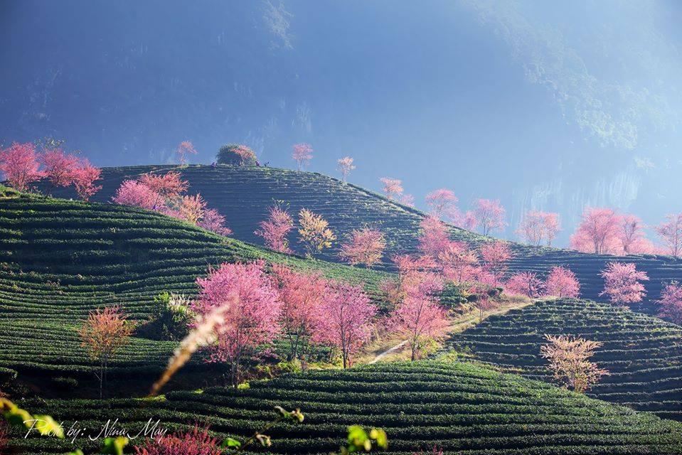 Có hẹn trước với mùa hoa anh đào ở đồi chè Ô Long đẹp nhất Sapa những ngày cuối năm