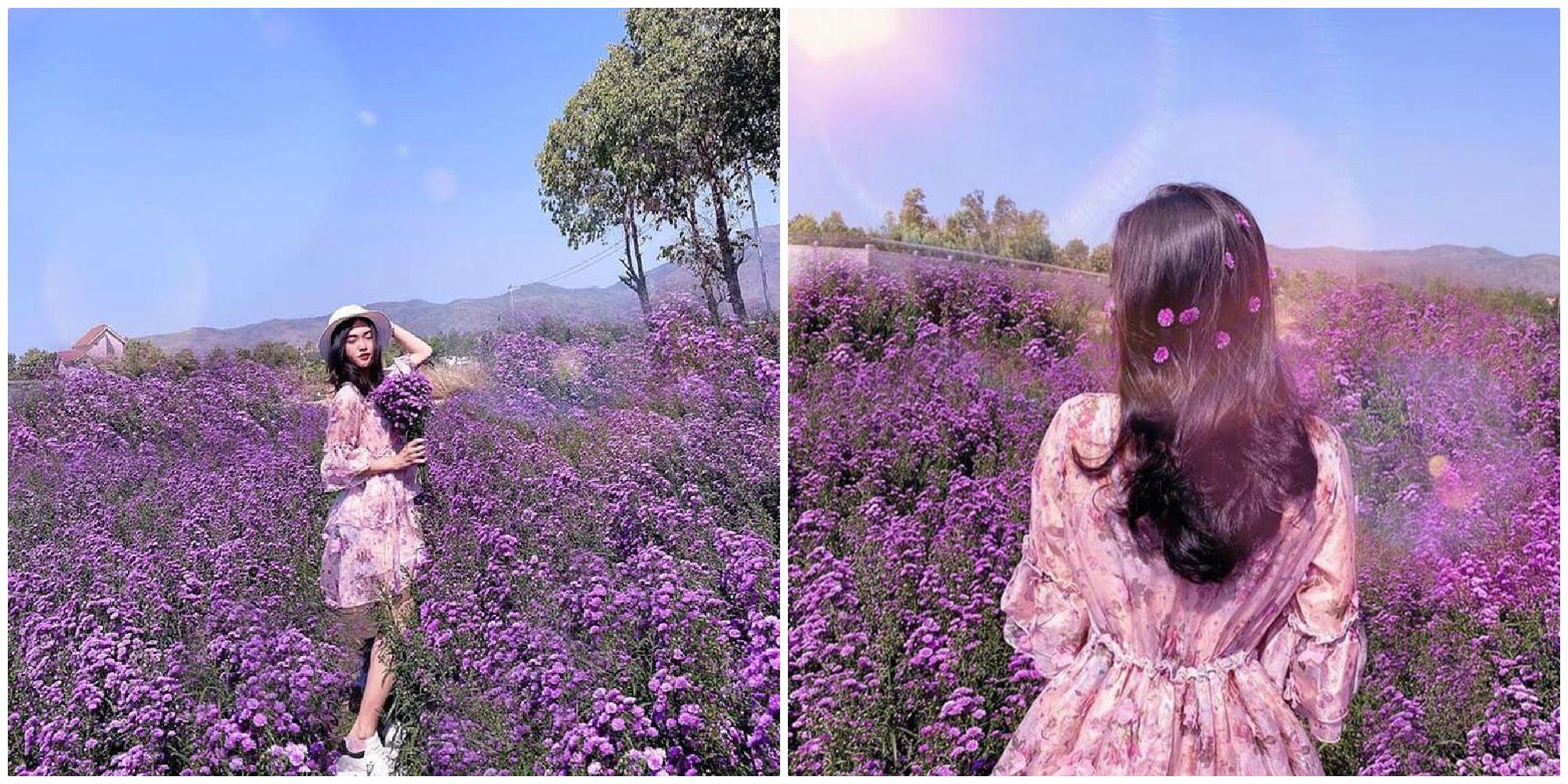 Share gấp toạ độ Cánh đồng hoa tím lịm tím sim đẹp như cổ tích ở Vũng Tàu