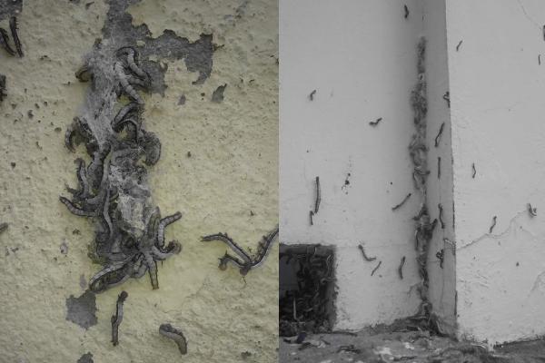 """""""Sởn gai ốc"""" trước cảnh hàng ngàn con sâu khoét tường làm tổ tại một trường học"""