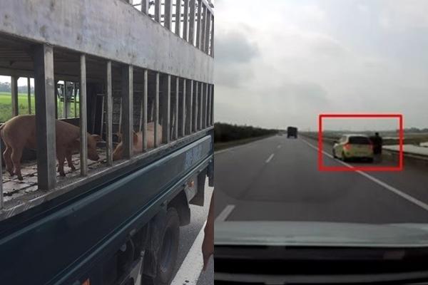 """Màn rượt đuổi đòi lợn """"độc nhất vô nhị"""" trên cao tốc: 3 người đàn ông hôi... lợn trên xe 4 chỗ buộc phải trả lại chú lợn"""