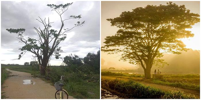 """Cây cô đơn trong phim """"Mắt biếc"""" nổi tiếng ở Huế trụi lá vì cơn bão số 5"""