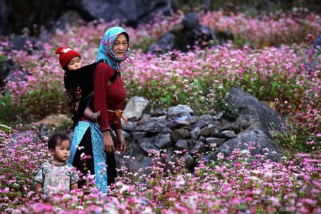 Hẹn nhau khi mùa hoa tam giác mạch nở nhuộm hồng cả một miền cao nguyên đá Hà Giang