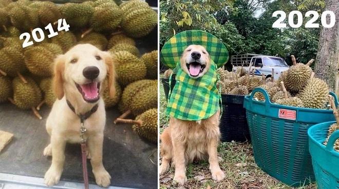 Chú chó 7 năm khôn lớn bên vựa sầu riêng, năm nào cũng đội mũ ngồi bán trái cây khiến dân tình đua nhau thả tim