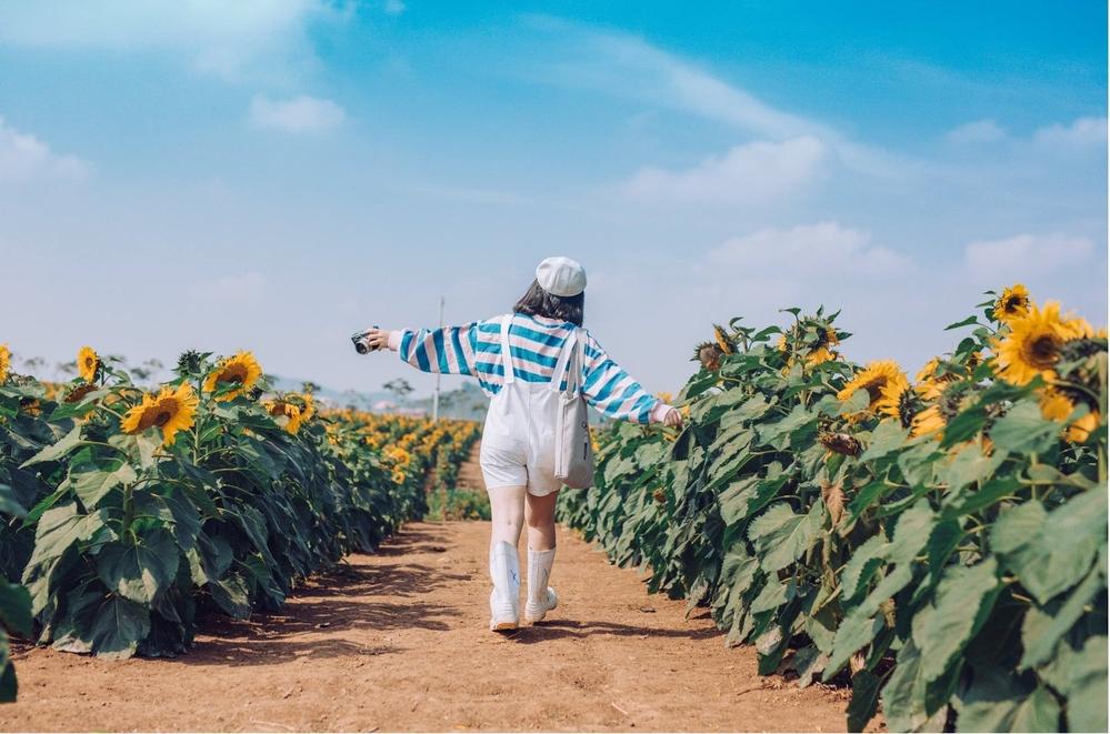 Lạc lối ở cánh đồng hoa hướng dương đẹp nhất Việt Nam đang bắt đầu nở rộ